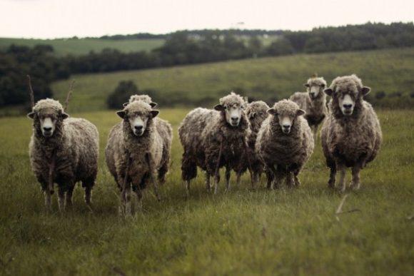 sheep-nature-flock